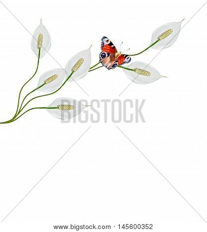 Flower spathiphyllum isolated on white background. butterfly