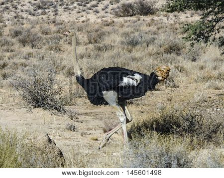 A Wild Ostrich In The Savannah
