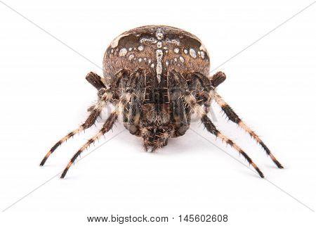 Female spider crusader (Araneus diadematus) isolated on white. Close-up