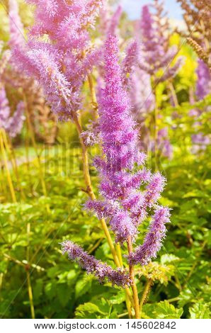 Closeup of Astilbe chinensis - herbaceous perennial flower under soft sunlight. Astilbe chinensis is also known as False Spirea Astilbe chinensis.