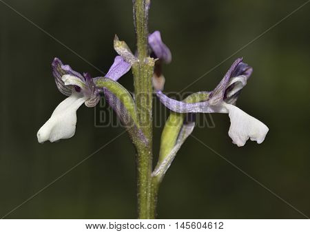 Green-winged Orchid - Anacamptis morio ssp syriaca Closeup of two flowers