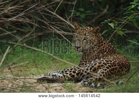 Sri lankan wild tiger in yala national animal's park