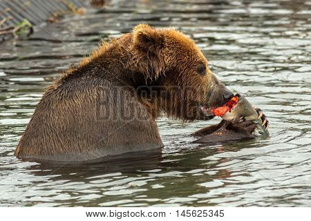Brown bear eating caught salmon with red caviar in Kurile Lake. Southern Kamchatka Wildlife Refuge in Russia.