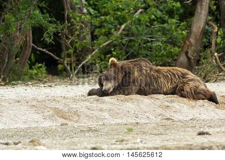 Brown bear sleeping sweetly on the shore of Kurile Lake. Southern Kamchatka Wildlife Refuge in Russia.