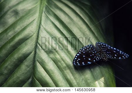 Beautiful butterfly. Green swallowtail butterfly, Papilio palinurus. Insect in the nature habitat. Butterfly sitting in the green leaves, Indonesia, Asia. Wildlife scene from green forest.