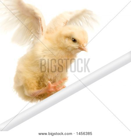 Chick Trying To Fly