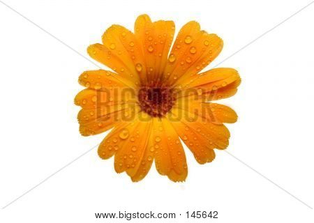 Yellow Wet Gerber Daisy Over White