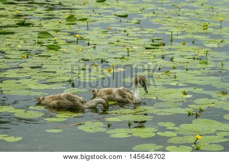 Two Duck Flying Among The Lilies