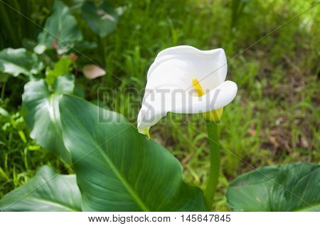 Delicate calla lily flower with heart-shaped white petal and yellow stamen in Bibra Lake, Western Australia.