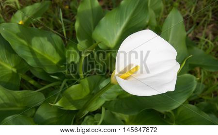 Stunning wild delicate calla lily flower with yellow stamen and lush foliage in natural reserve in Bibra Lake, Western Australia.