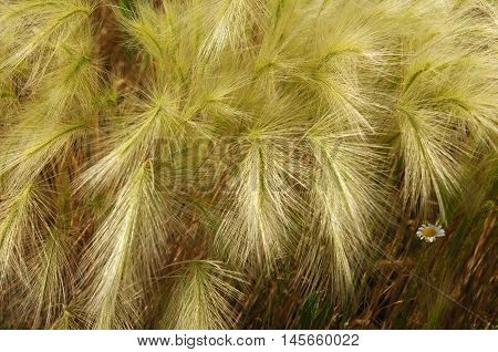 Feather Grass, Stipa