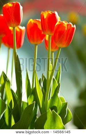 Beautiful red tulip flowers during easter season