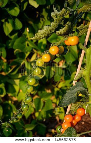 Sungold cherry tomatoes growing on the plant England UK Western Europe.