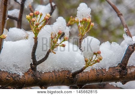 Apple Tree Flowers In The Snow