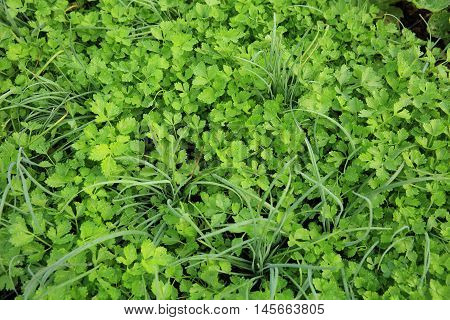 green leek and celery in growth at vegetable garden