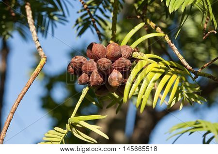 Leaves and fruits of Japanese plum-yew, Cephalotaxus harringtonii, a coniferous bush in the plum yew familiy