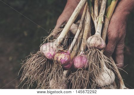 Organic garlic bulbs gathered at ecological farm in old farmer's dirty hands. Harvest at agricultural production business. Natural healthy food outdoors in field. Soft toning