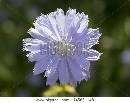 Chicory flower. Cichorium intybus. Flower in nature.