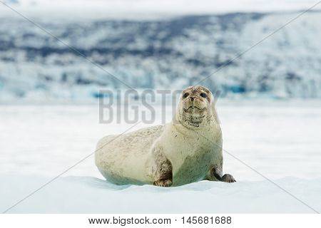 Lying Bearded seal on ice in arctic Svalbard