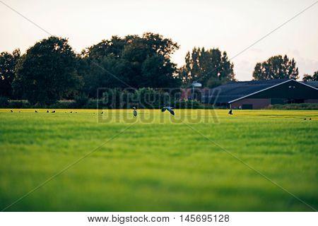 Grey Heron Flying Low Over Farmland. Geesteren. Achterhoek. Gelderland. The Netherlands.