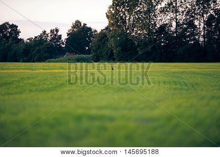 Alert Grey Heron Sitting In Farmland Looking For Food. Geesteren. Achterhoek. Gelderland. The Nether