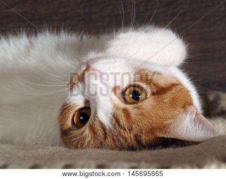 The cat is white with red. Muzzle close huge orange eyes. His head turned the cat looks the other way around