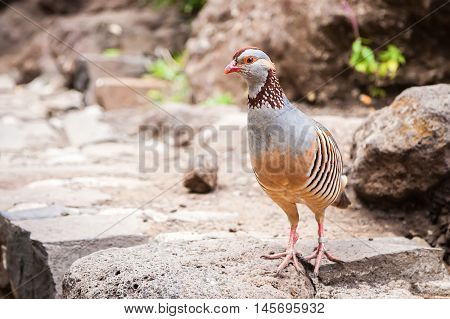 the Canarian red-legged partridge with a light brown back grey breast and buff belly