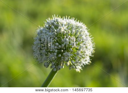 View beautiful of Onion flower stalks. Beautiful onion flowers close agriculture background