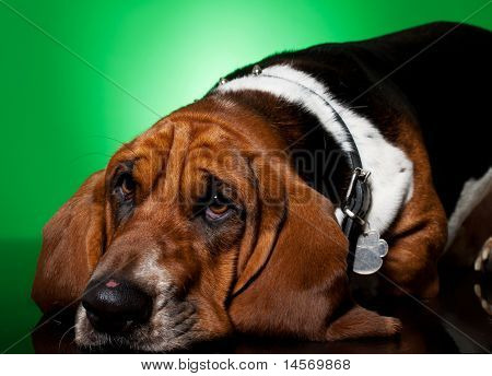 Sad Looking Basset Hound's Face