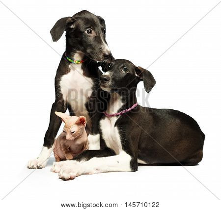 Two cute puppy greyhounds and kitten don sphynx on a white background