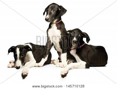 Three cute puppies greyhounds on a white background