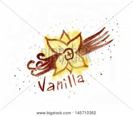 Watercolor vanilla.  vanilla text. vanilla pods watercolor.