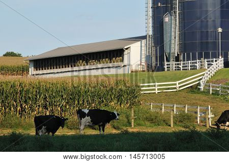 close view of farm with dairy cows grazing on grass