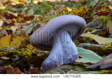 fungi, mushroom, forest, lepista, ground, wild, edible, violet