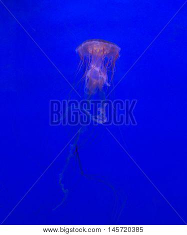 Medusa Jellyfish Underwater Diving Photo Egypt Red Sea
