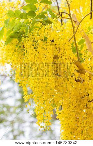 Golden Shower or Cassia Fistula,national tree of Thailand