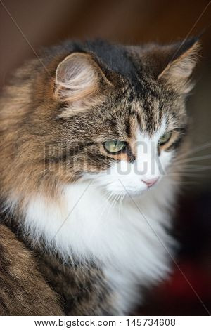 Beautiful Maine coon cat a soft focus window light shot of a brown white and black domestic cat sat happily looking down