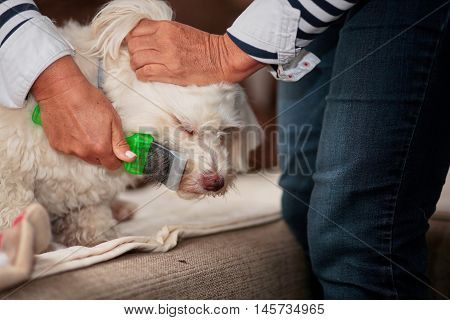 Havanese Dog Being Groomed With A Brush