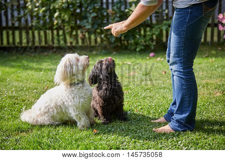 Woman Training Two Havanese Dogs In The Garden