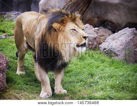 A Male Lion Panthera leo King of the Jungle or King of Beasts