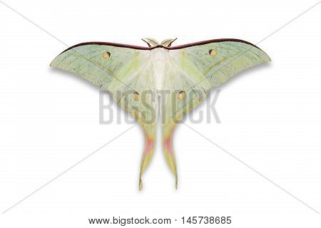Indian Moon Moth Or Indian Luna Moth
