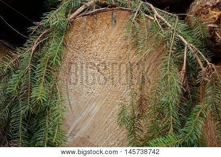 The cut surface of a spruce tree growth rings are visible - Forestry