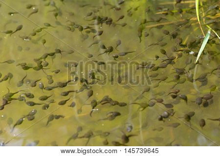many tadpoles in a body of water - closeup