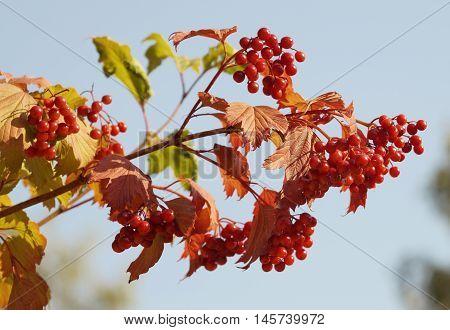 Viburnum bush branch with reddened leaves and berries