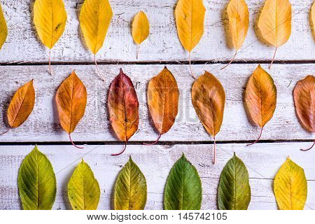 Autumn composition. Various colorful leaves in three rows. Studio shot on white wooden background.
