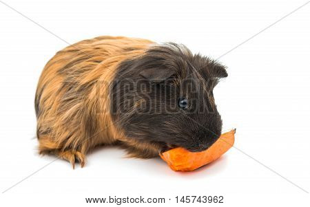 Guinea pig small on a white background