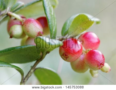 Closeup of a branch of lingonberry and green leafes