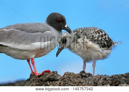 Swallow-tailed Gull With A Chick On Genovesa Island, Galapagos National Park, Ecuador