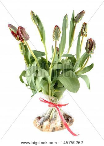 Tulips red and green Rococo in a bag isolated on white