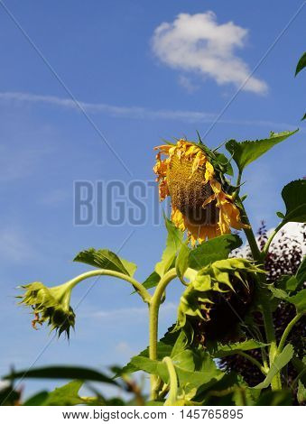 Large sunflower under blue sky in summer